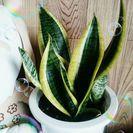 観葉植物♪綺麗な大サンスベリア