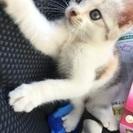 再募集で急募です。メスの三毛猫の子猫です☆