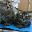 アメショーロングヘアの2か月半愛らしい赤ちゃん猫!