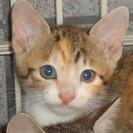 生後1っヶ月の子猫三毛