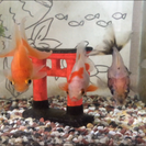琉金、mix、金魚5匹