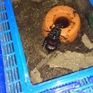 [お話が進んでいます]カブトムシの幼虫4匹います