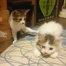 1ヶ月三毛キジ白姉妹