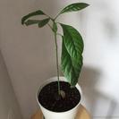 【譲ります】観葉植物 アボカド!(大)(鉢付き)