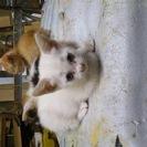 三か月 ブルーの眼、和風顔の白雌猫