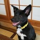 母犬 ボーダーコリー  父犬 甲斐犬 のMIXの子犬 (6月7日生まれ)