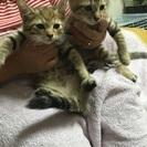 生後2ヶ月の仔猫 〔交渉中につき一時休止中〕