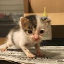 生後3週間〜1ヶ月の雄の子猫です
