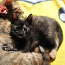 【急募!】黒サビ柄 2匹のメスの子猫の里親募集