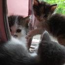 生後5週間 長毛おひげ ブルー&ホワイト 縞三毛ちゃん