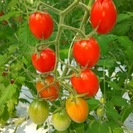 【主婦が活躍中】高糖度フルーツトマトの栽培補助パート募集!