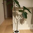 ウンベラータ 観葉植物 1.5m グリーン 緑