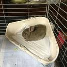 ミニウサギ 赤ちゃん