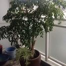 観葉植物、鉢付き