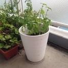 植木鉢、バジルおまけ付き