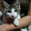 美人のキジ白ちゃん 約4カ月