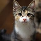 【情報更新】生後3ヶ月三毛系姉妹4匹・くーちゃん