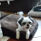 小さなMIX犬メイちゃんの家族探し