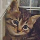 生後1.5ヶ月ぐらいです、キジ猫。