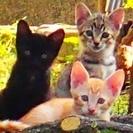 ★★★子猫6匹 茶トラ・黒・キジ★★★