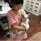 迷子の 子犬 チワワ です。