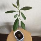 【譲ります】観葉植物 アボカド!(Sサイズ)