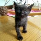 【里親さま決定】ブラックの子ねこちゃんを迎え入れてくださる方!