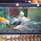 金魚 ランチュウもいます。