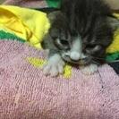 生後2週間くらいの子猫