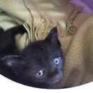 黒猫 ♂ 1ヶ月
