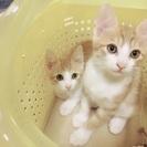 双子の子猫の里親探しています