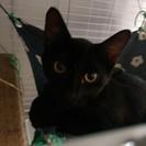 猫ちゃんの一時預かりボランティアさん募集中です