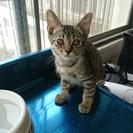 キジ猫 ♂ 3ヶ月