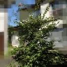庭木さしあげます/もみじ・モクレン・芙蓉など