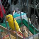 セキセイインコ2羽