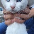 白い猫ちゃん・ブルーの眼・オッドアイ・メス・5ヶ月くらい・迷い猫(...