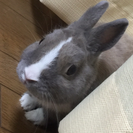 ミニウサギ♡飼い主募集♡