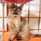 ◆小さめスリム体型の成猫◆ サビ毛/女の子/2009年生まれ ≫里...