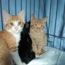 【1匹でも】とってもかわいい仔猫3兄弟♪【里親さん募集です♪ 】
