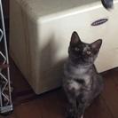 ロシアンブルー系?子猫の里親様を募集しています。