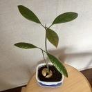 【譲ります】観葉植物 アボカド!(スモールサイズ)