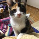 三毛猫のメス♡2ヶ月