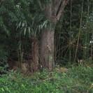 薪 無料 ケヤキ、エノキ 、アカシア、他、(焚きつけよう小枝も多数あり)