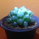 雫石 ハオルシア オブツーサ トルンカータ 5.1センチ 多肉植物