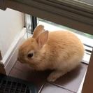 子ウサギもらってください。