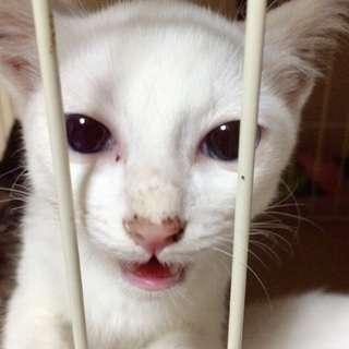 処分前のため至急★白ネコ 子猫 オス