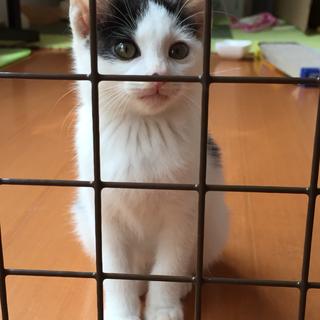 生後1カ月半の子猫♂