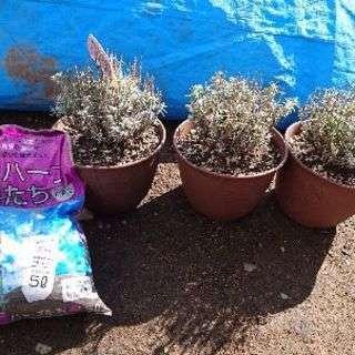 ラベンダー  苗とハーブ専用培養土(残量半分以上)