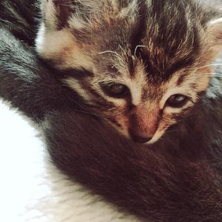 3ヶ月の子猫です。