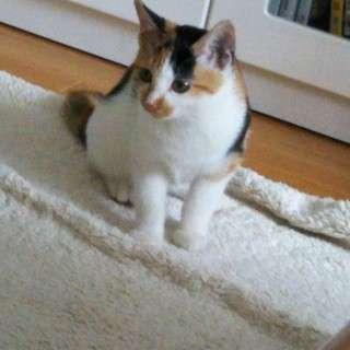 3か月の三毛猫(女の子)